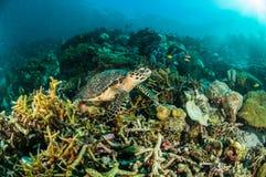 För indonesia för kapoposang för havssköldpadda dykare för dykning för dykapparat för chelonia mydas undervattens- Arkivfoto