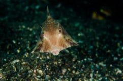 För indonesia för lembeh för dykapparatdykning cowfish longhorn Arkivfoto