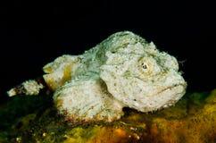 För indonesia för lembeh för dykapparatdykning scorpionfish jäkel Royaltyfri Foto