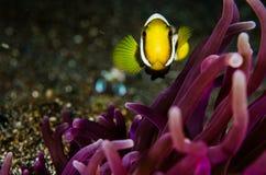 För Indonesien för lembeh för dykapparatdykning undervattens- anemonefish saddleback royaltyfria foton