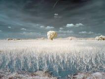 För Infrared träd solo på risfältfältet Royaltyfri Bild