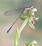 För Ischnura för slända (damselfly) ebneri elegans (fem arkivfoton
