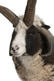för jacob för aries horned RAM mång- ovis royaltyfria foton