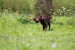 And för jaktlabrador innehav Royaltyfri Foto