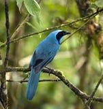 för jay för oklarhetsecuador skog turkos mindo arkivfoton