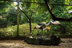 För jejangmahkota för två svart fåglar anseende på sida av ett damm i buren som omger vid buskefotoet som tas i Indonesien Arkivfoto