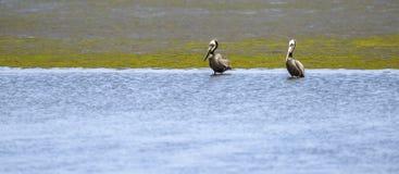 för Kalifornien för barbara näbbbrown pelikan för morgonen för marinaen perched den centrala kust- tidiga fjädrar pir santa Arkivbild
