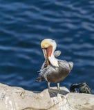 för Kalifornien för barbara näbbbrown pelikan för morgonen för marinaen perched den centrala kust- tidiga fjädrar pir santa Fotografering för Bildbyråer