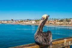 för Kalifornien för barbara näbbbrown pelikan för morgonen för marinaen perched den centrala kust- tidiga fjädrar pir santa Royaltyfria Foton