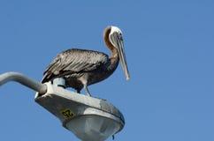 för Kalifornien för barbara näbbbrown pelikan för morgonen för marinaen perched den centrala kust- tidiga fjädrar pir santa Arkivbilder