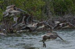 för Kalifornien för barbara näbbbrown pelikan för morgonen för marinaen perched den centrala kust- tidiga fjädrar pir santa Royaltyfria Bilder
