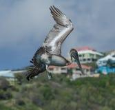 för Kalifornien för barbara näbbbrown pelikan för morgonen för marinaen perched den centrala kust- tidiga fjädrar pir santa Arkivfoton