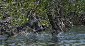 för Kalifornien för barbara näbbbrown pelikan för morgonen för marinaen perched den centrala kust- tidiga fjädrar pir santa Royaltyfri Foto