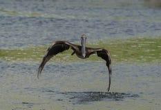 för Kalifornien för barbara näbbbrown pelikan för morgonen för marinaen perched den centrala kust- tidiga fjädrar pir santa Arkivfoto