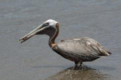 för Kalifornien för barbara näbbbrown pelikan för morgonen för marinaen perched den centrala kust- tidiga fjädrar pir santa Royaltyfri Fotografi