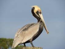 för Kalifornien för barbara näbbbrown pelikan för morgonen för marinaen perched den centrala kust- tidiga fjädrar pir santa Royaltyfri Bild