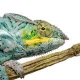 för kameleont pardalis för furcifer faly nyfikna arkivbilder