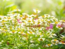 För kamomillfält för lösa blommor vår för sommar för solljus för växt för tusensköna Royaltyfri Bild