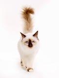 för kattblomma för bakgrund yellow för tulpan för birman kattunge för huvud röd sakral Royaltyfri Bild