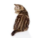 för kattungestående för bakgrund tätt skott upp white bakgrund isolerad white Royaltyfri Fotografi