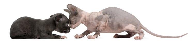 för kattungevalp för chihuahua påverkande varandra sphynx med a Royaltyfri Foto