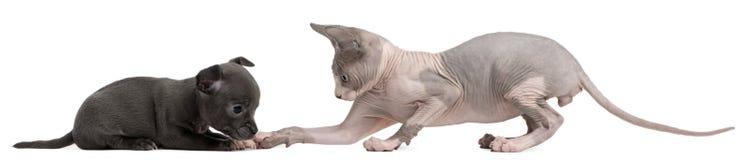 för kattungevalp för chihuahua påverkande varandra sphynx med a Royaltyfria Foton