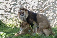 för kenya för africa östlek mara oktober för maasi lion male reserv 2006 Royaltyfri Foto