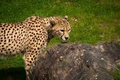 för kenya för lek för africa cheetahöst mara oktober maasi reserv 2006 Royaltyfri Foto