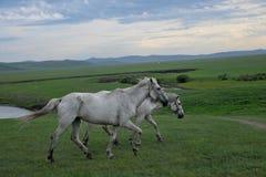 För Khan Mongol för guld- hord för Mergel flodstrand hästar för stäpp stammar arkivfoto