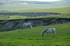 För Khan Mongol för guld- hord för Mergel flodstrand hästar för stäpp stammar arkivfoton