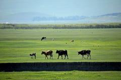 För Khan Mongol Mergel för guld- hord får för grässlätt för flodstrand stammar, hästar, nötkreatur royaltyfria foton