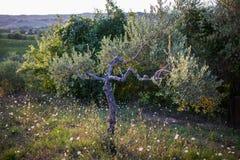 för kindtandnatt för el madrid tree för plats olive Royaltyfria Foton