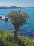 för kindtandnatt för el madrid tree för plats olive Royaltyfri Bild