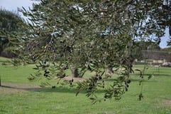 för kindtandnatt för el madrid tree för plats olive arkivfoto