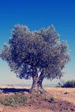 för kindtandnatt för el madrid tree för plats olive Arkivbild