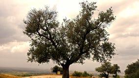 för kindtandnatt för el madrid tree för plats olive Royaltyfria Bilder