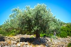 för kindtandnatt för el madrid tree för plats olive Royaltyfri Fotografi