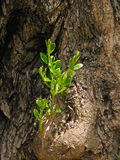 för kindtandnatt för el madrid tree för plats olive Royaltyfri Foto