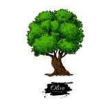 för kindtandnatt för el madrid tree för plats olive Hand tecknad vektorillustration Botanisk teckning för tappning vektor illustrationer
