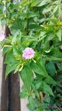 För `-klockan för nolla fyra blomman, mirabilisjalapa eller förundra sig av Peru Arkivbilder