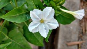 För `-klockan för nolla fyra blomman, mirabilisjalapa eller förundra sig av Peru Arkivbild