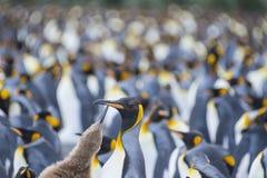 För koloniguld för konung Penguins hamn Arkivbilder