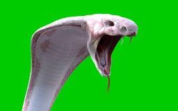 för konungkobra för albino som 3d orm isoleras på svart bakgrund Royaltyfria Foton