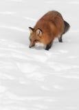 För kopieringsutrymme för röd räv (Vulpesvulpes) botten Arkivbild