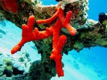 för korall röd rev hard Fotografering för Bildbyråer
