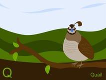 för kortexponering q för alfabet djura quail Arkivfoto