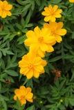 För kosmosblomma för Closeup gul blomning Arkivfoton