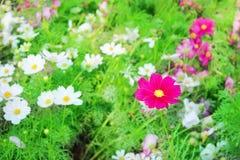 För kosmosblommor för natur som färgrika modeller blommar i trädgården för bakgrund arkivfoton