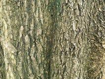 för kupatextur för bakgrund brunt trä bakgrund för stamdetaljtextur Gnarl treen Royaltyfria Bilder