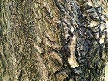 för kupatextur för bakgrund brunt trä bakgrund för stamdetaljtextur Gnarl treen Royaltyfri Fotografi